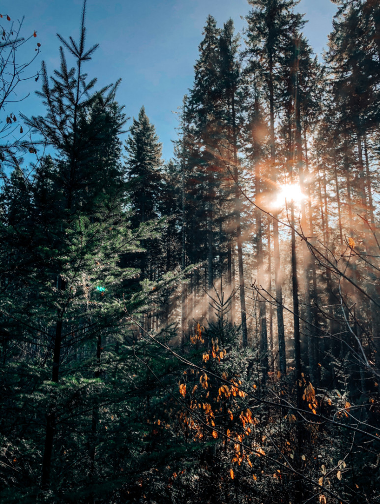 The sun shining through a group of tall trees